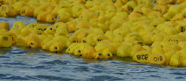 bellarine duck race